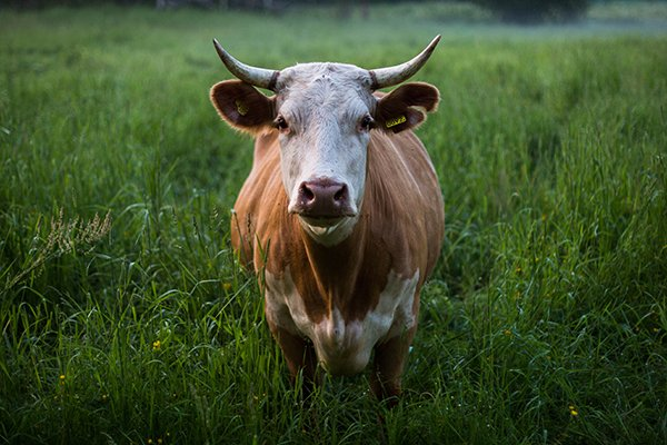 new r100 million scandal sees zuma gifted cattle bought with